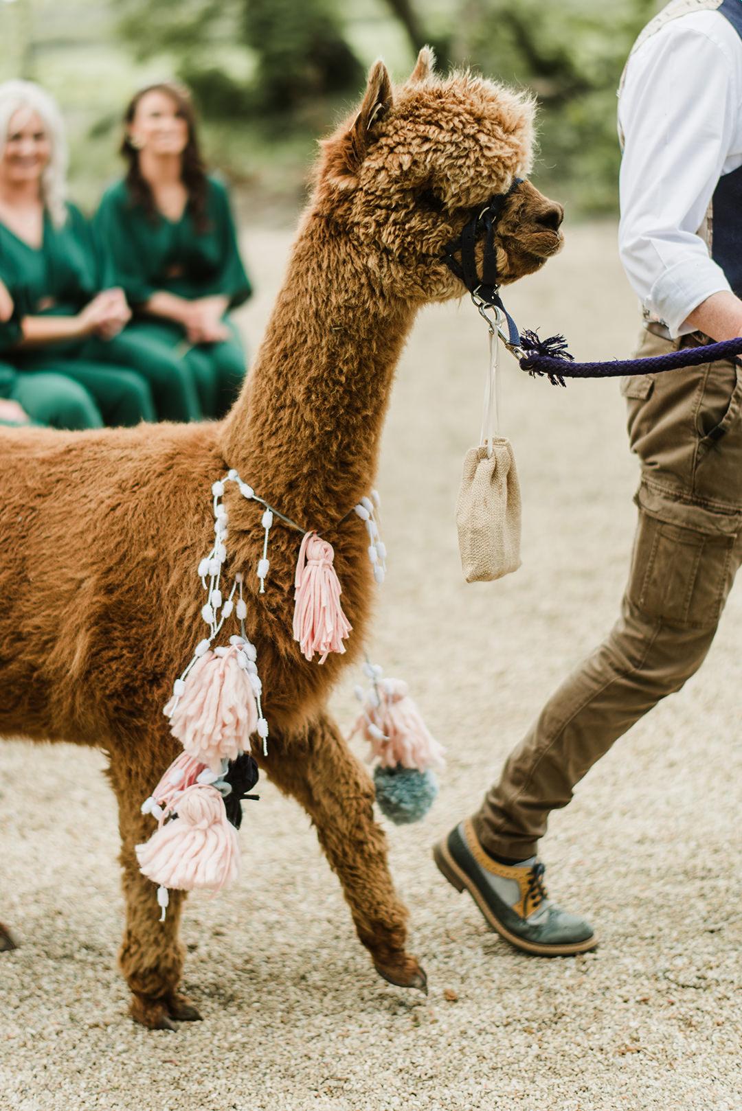 brown alpaca bringing rings at ceremony